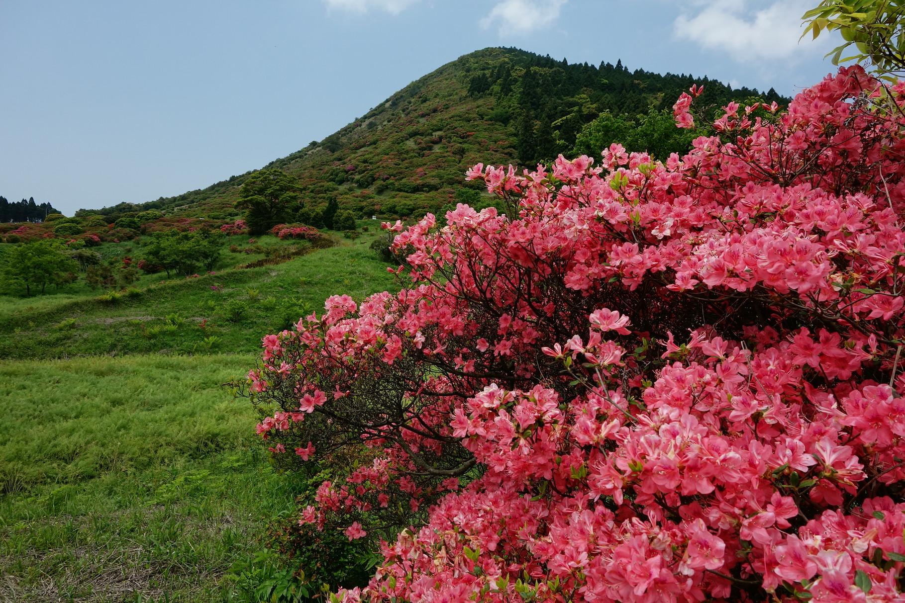 「高峠」のサタツツジ 命名は「佐田岬」の地名に由来する クルメツツジの野生品なので鹿児島県の山以外で見ることはないそうです
