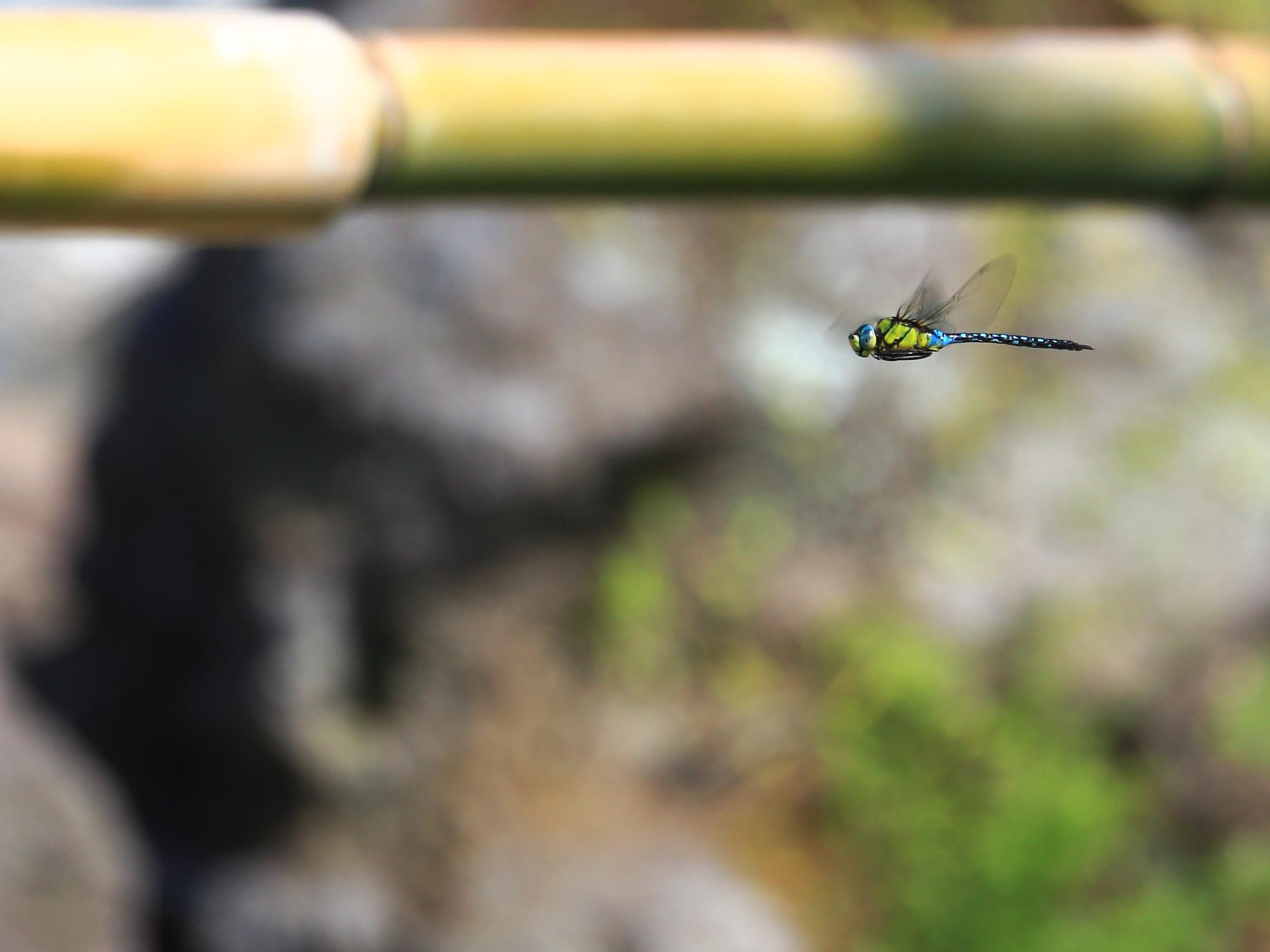 飛行中のクロスジギンヤンマ(垂水市)