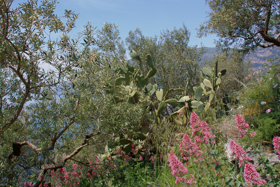 piekne gaje oliwne wysoko w gorach
