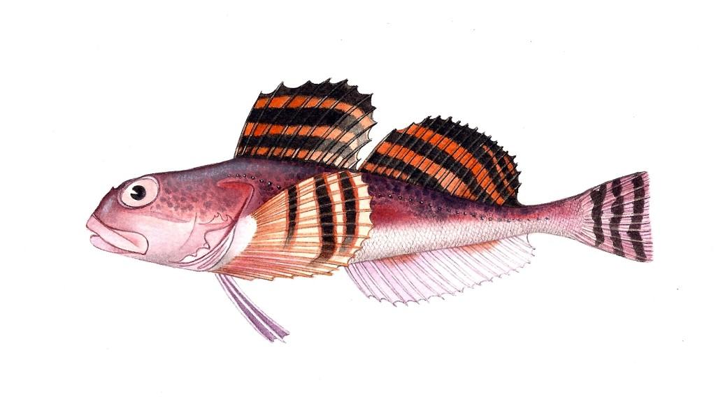 Pesce Gymnocanthus herzensteini - Tecnica acquerello e pastelli - 15x25