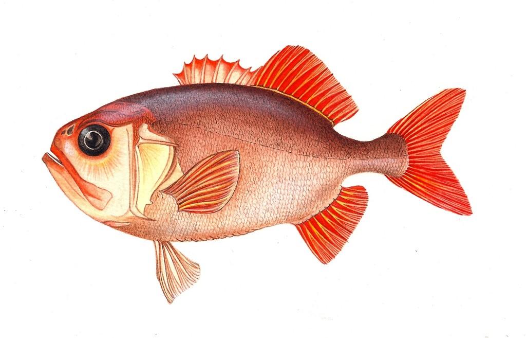 Pesce Gephyroberyx japonicus - Tecnica acquerello e pastelli - 15x25