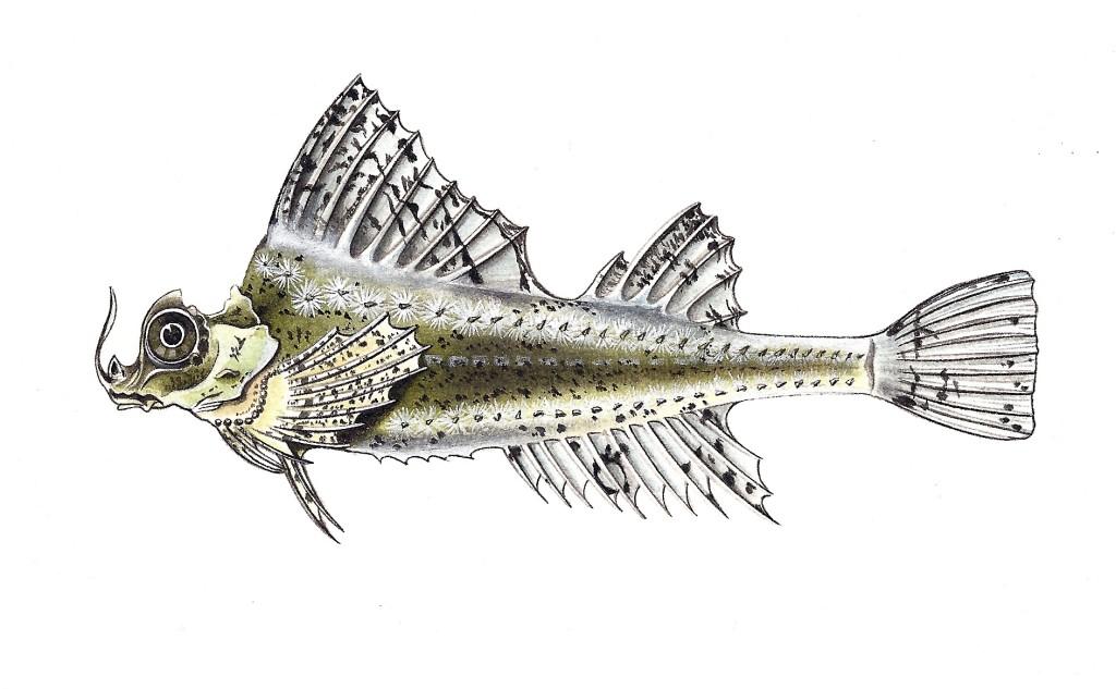 Pesce Agonomalus proboscidalis - Tecnica acquerello e pastelli - 15x25