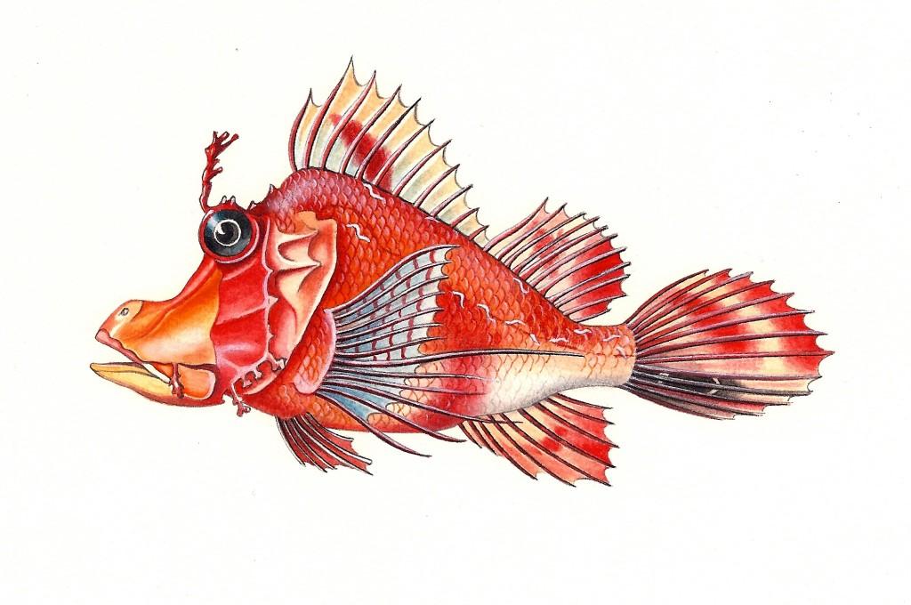Pesce Hipposcorpaena - Tecnica acquerello e pastelli - 15x25