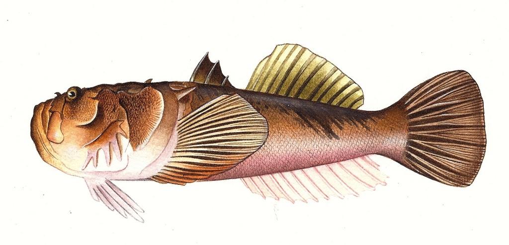 Pesce Uranoscopos bicintus - Tecnica acquerello e pastelli - 15x25