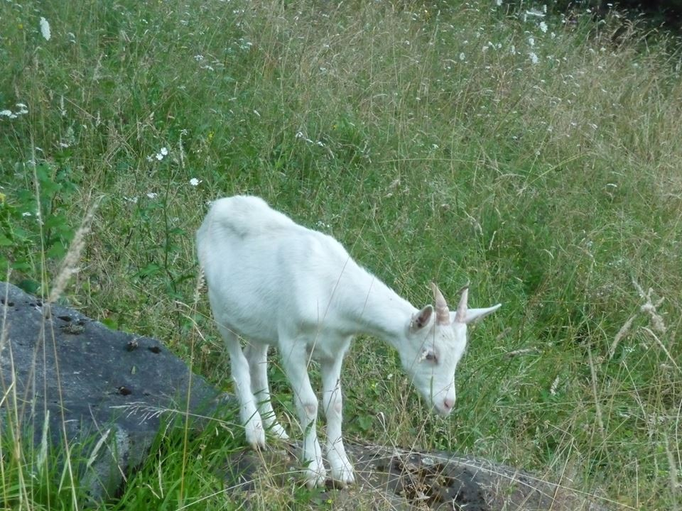 Our little goat