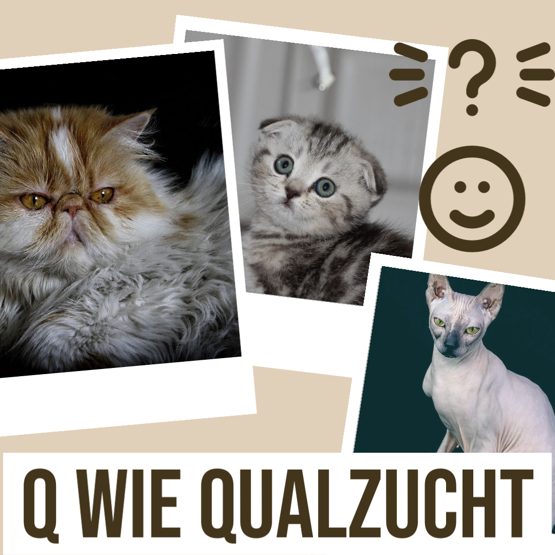 Xenias Katzen-ABC: Q wie Qualzucht
