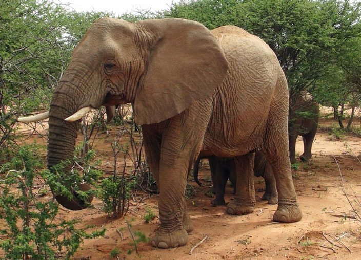Afrikanischer Elefant in Namibia