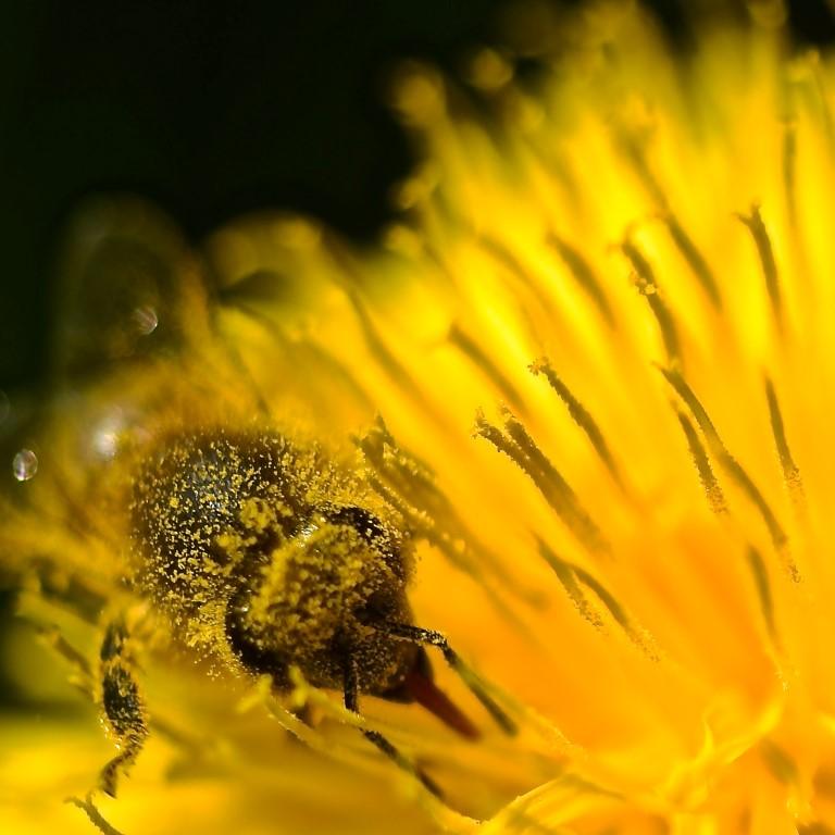 Honigbiene mit Löwenzahn Pollen