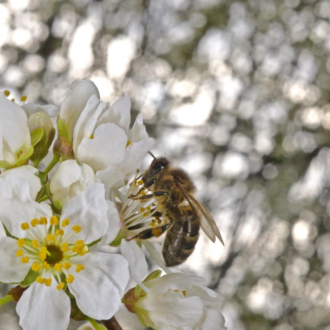 Honigbiene auf Pflaumenblüte