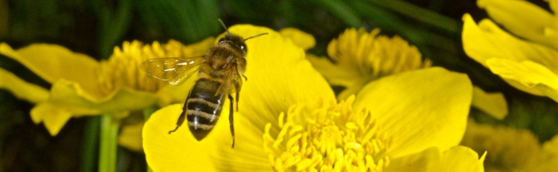 Sumpfdotterblume mit Honigbiene