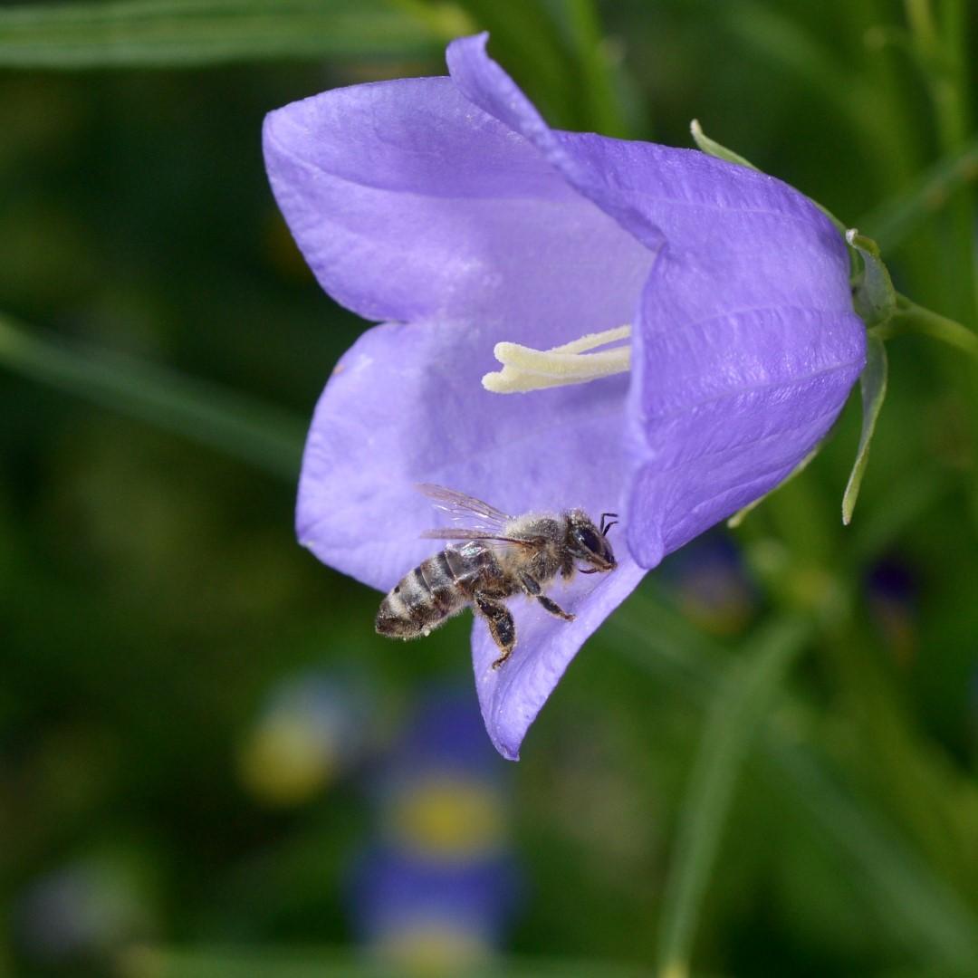 Glockenblume mit Honigbiene