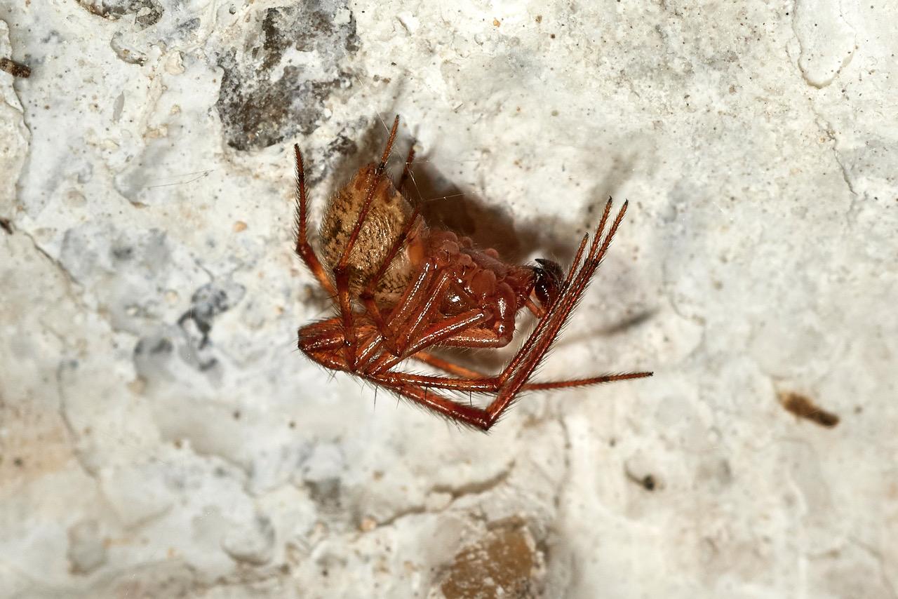 Gewaechshausspinne, männl. (Parasteatoda tepidarorium] (Foto: Bernd Kunz)