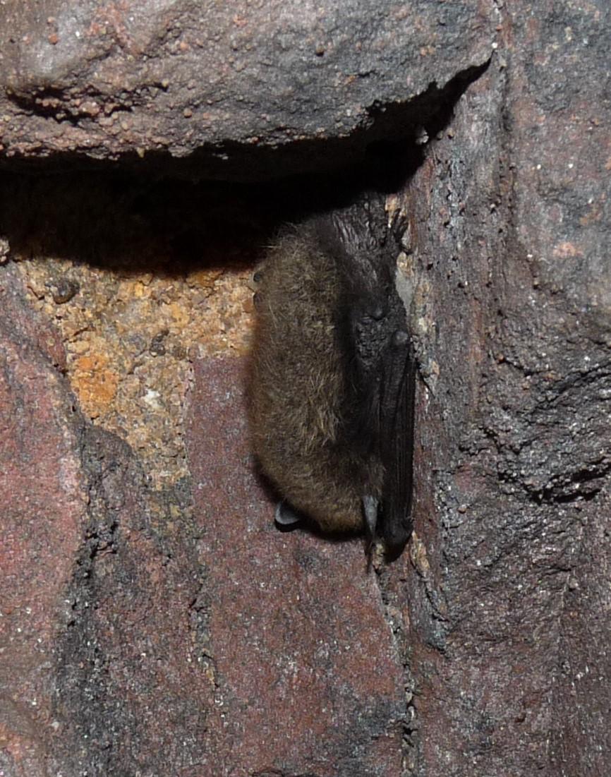 Kleine Bartfledermaus [Myotis mystacinus] (Foto: Michael Salomon)