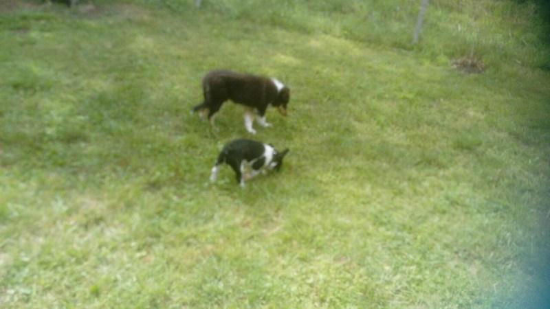 Charly Brown mit ca.16 Wochen in der Hundeschule