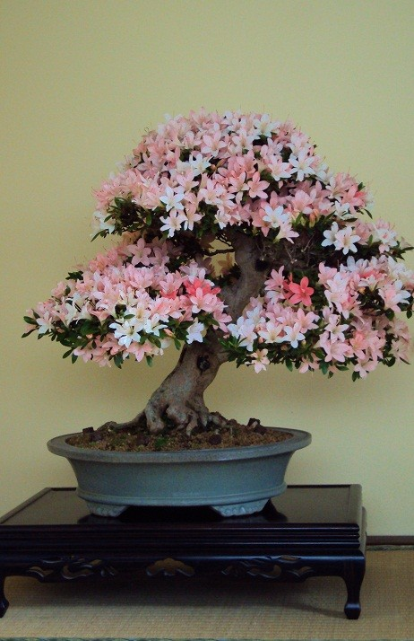 "Satsuki Azalee ""Nikko"" - prämierter Baum ""NRW-Bonsai-Tage 2013"""