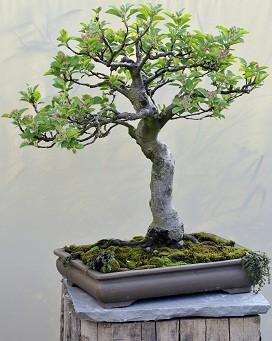 (23) Apfelbaum - ca. 14 Jahre