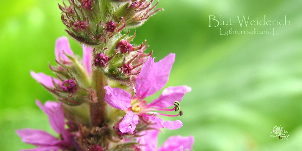 Blüte des Blut-Weiderichs ©Eschenblatt-Verlag