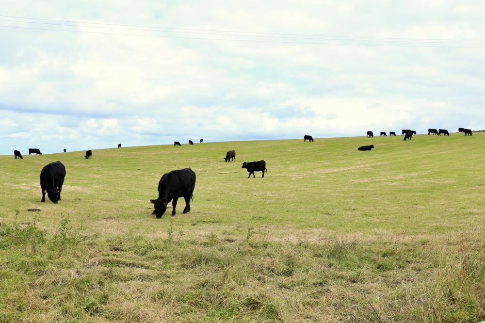 Viele schwarze Rinder