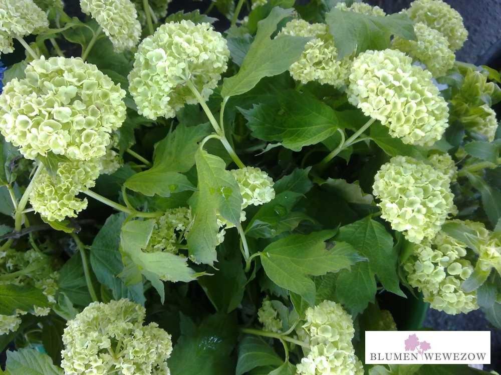 Pflanzen für Garten und Balkon - Hortensien