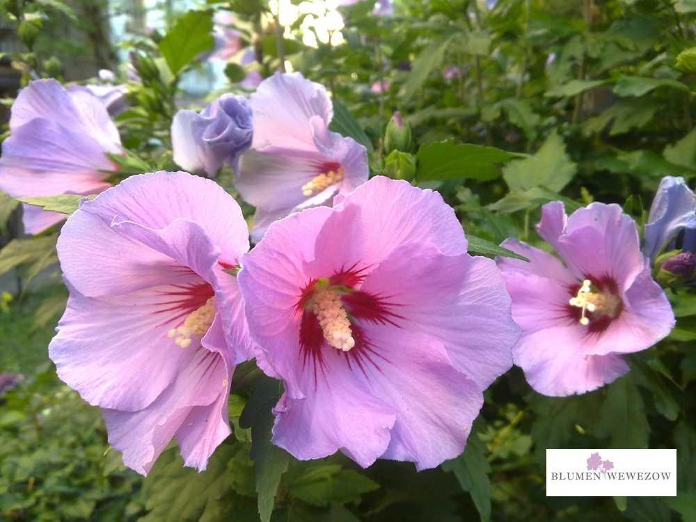 Sommerblumen Heidelberg - Hibiskus