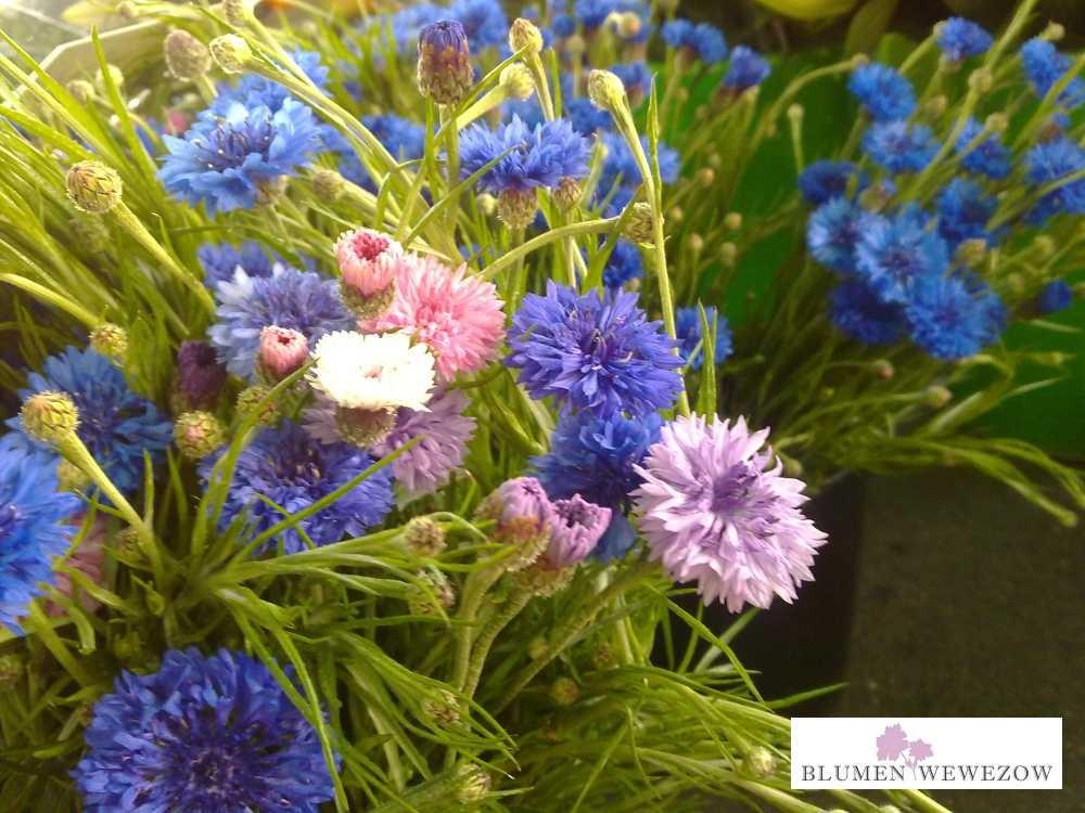 Sommerblumen Heidelberg - Kornblumen