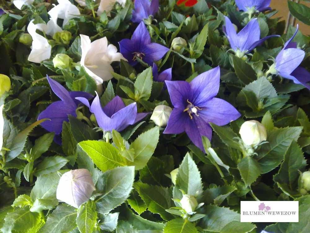 Pflanzen für Garten und Balkon  - Glockenblumen