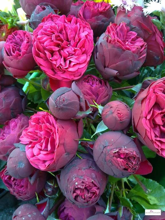 Sommerblumen Heidelberg - Gefüllte Rosen, die verzaubern
