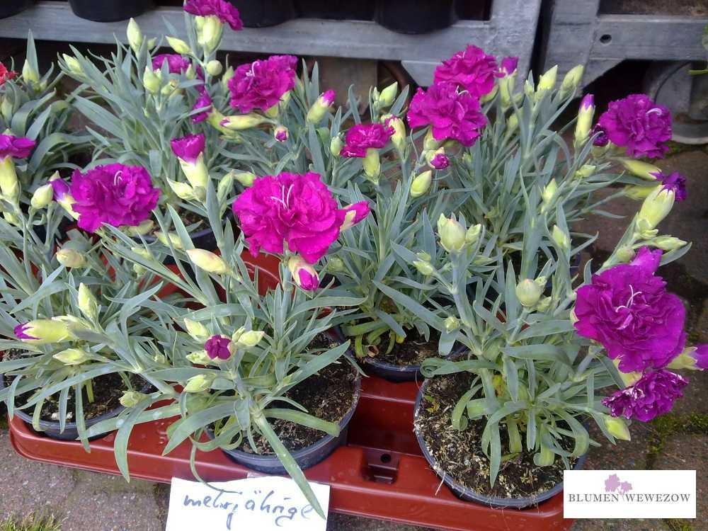 Pflanzen für Garten und Balkon  - Nelken