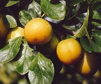 zdjęcie ze strony : www.keepers-nursery.co.uk/ontario-plum-fruit-trees.aspx