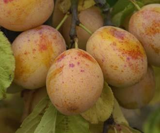 zdjęcie pochodzi ze strony:  www.keepers-nursery.co.uk/warwickshire-drooper-plum-fruit-trees.aspx