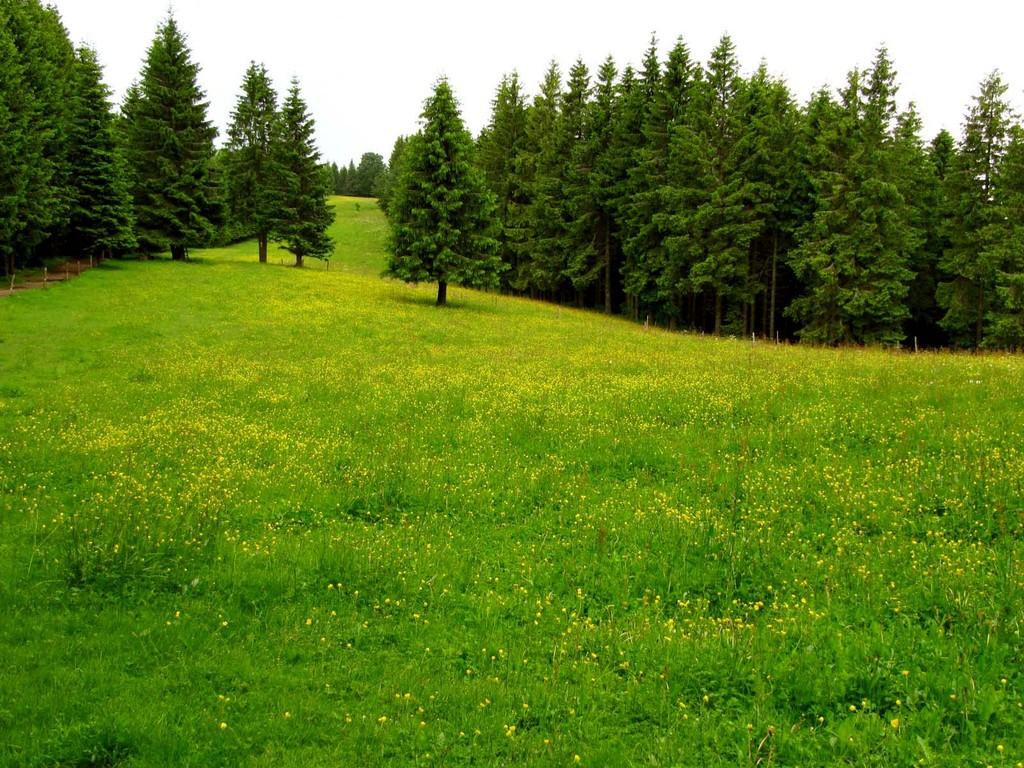 Wald- und Wiesenlandschaft mit gelbem Hahnenfuß.