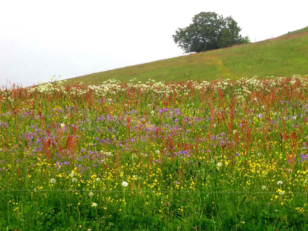 Beeindruckende Blütenpracht auf den Wiesen rund ums Hörnle.