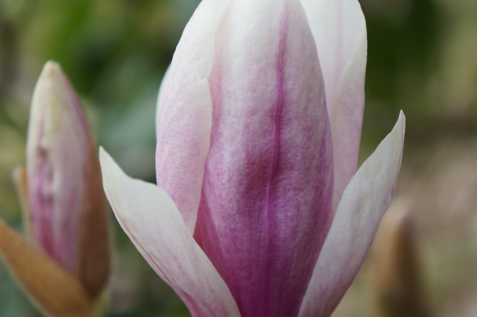 le magnolia de Soulanges, juste avant le coup de gel