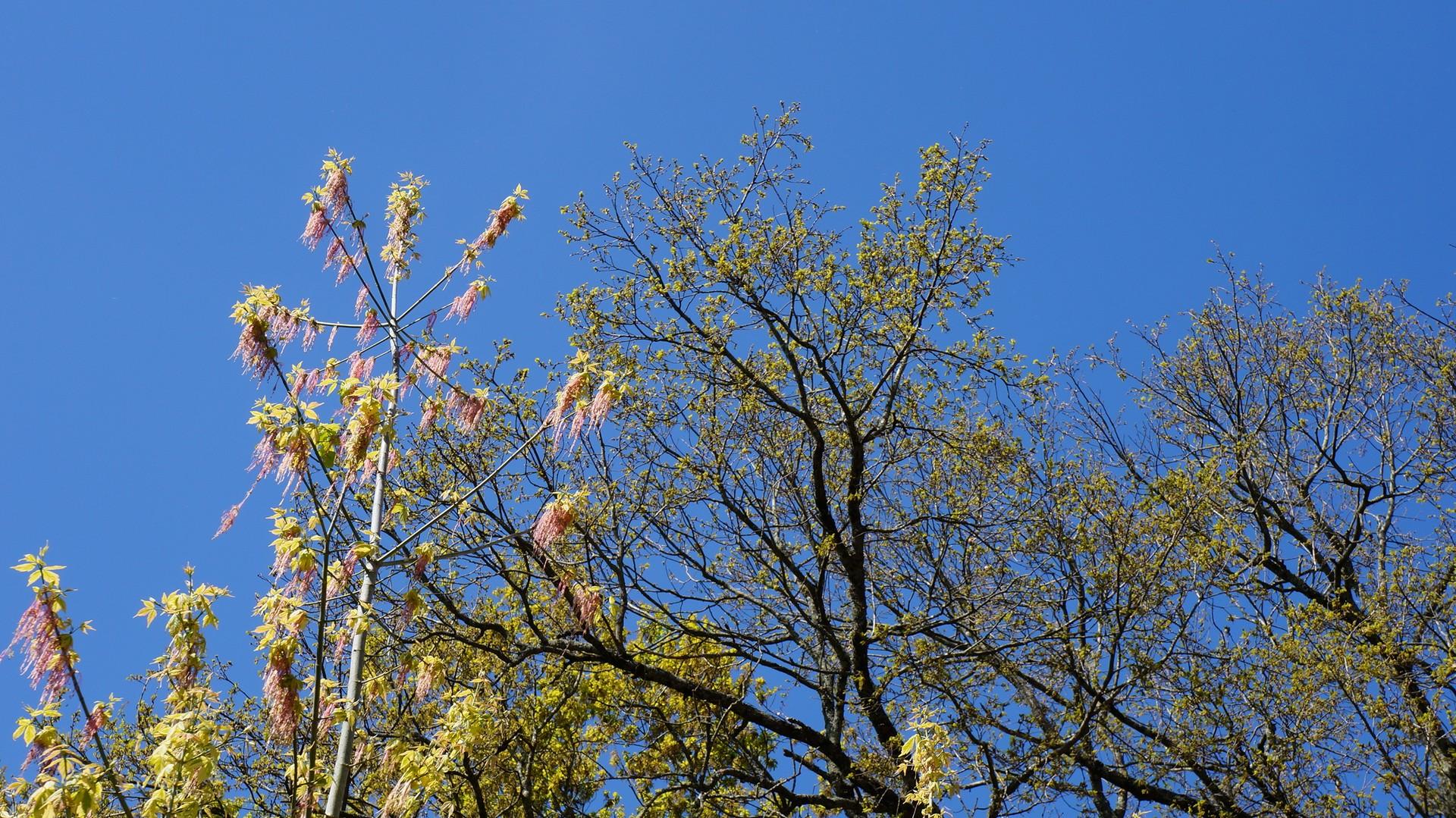 Fleurs d 'érable