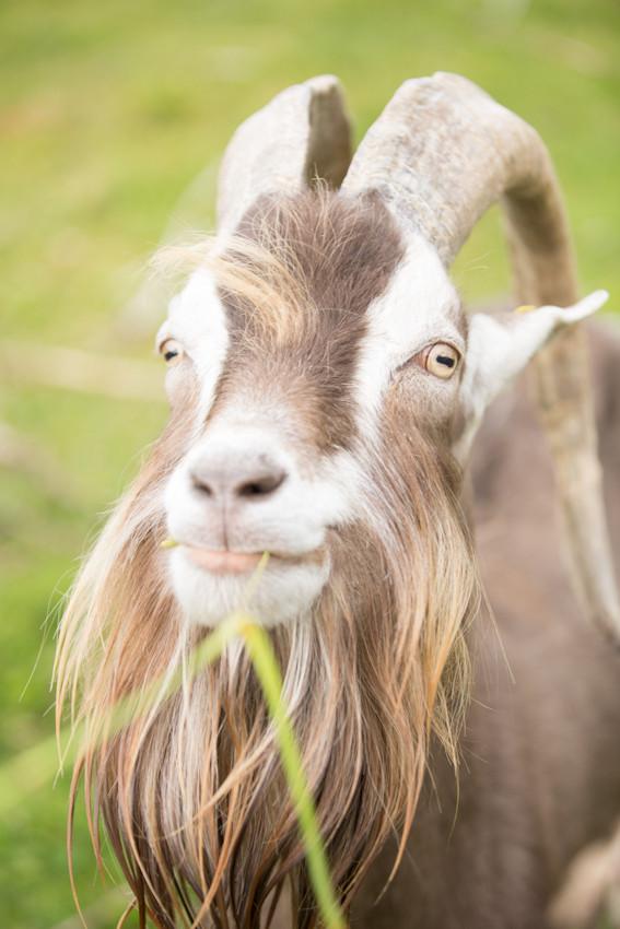 Belvis, der erste Bock auf dem Hof © Debra Bardowicks, Animal Photography