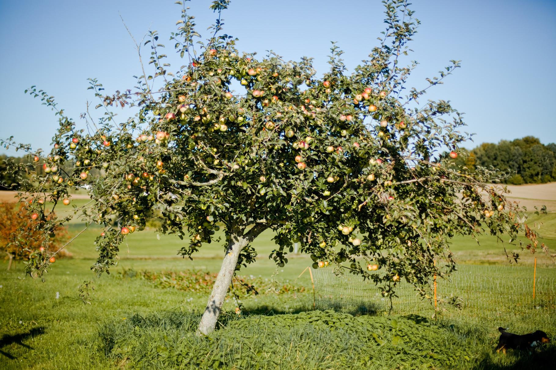 Auf dem KnallerbsenHof stehen viele Obstbäume © Knallerbsenhof