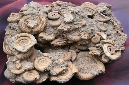 Ammonitensegment aus Deutschland