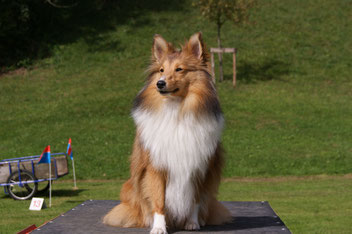 candy von shannon vicky shawnee zobel sheltie sable