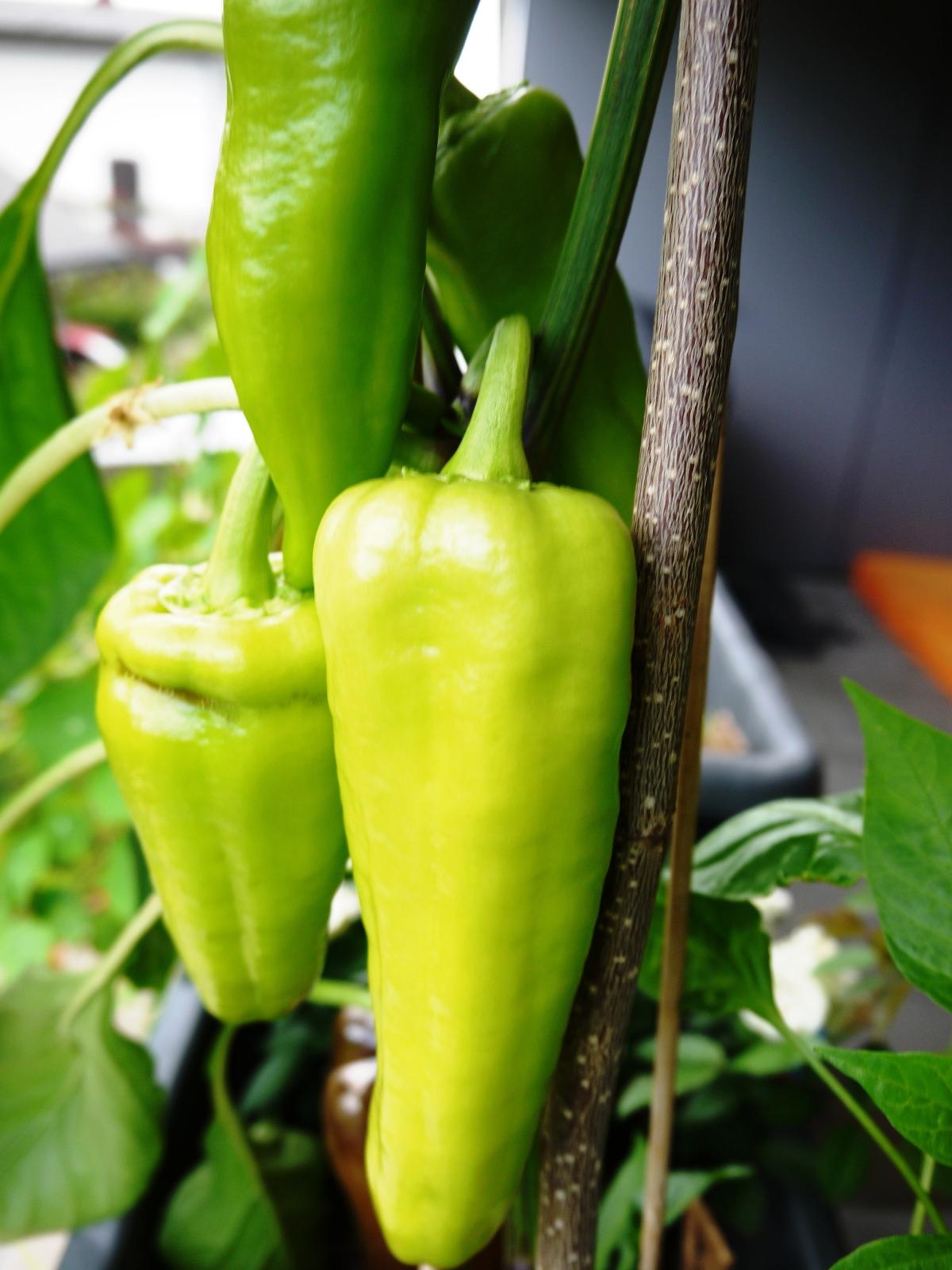 Paprika kannst du auch in der Wohnung großziehen. Sie lieben die Wärme. Paprikakern (samenfest) aufbewahren und losgehts.