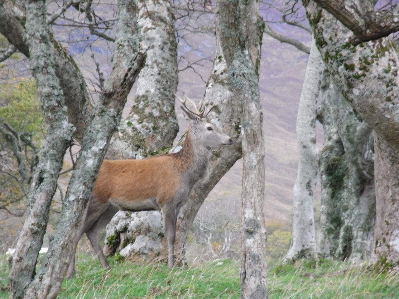 Deer at Applecross Estate