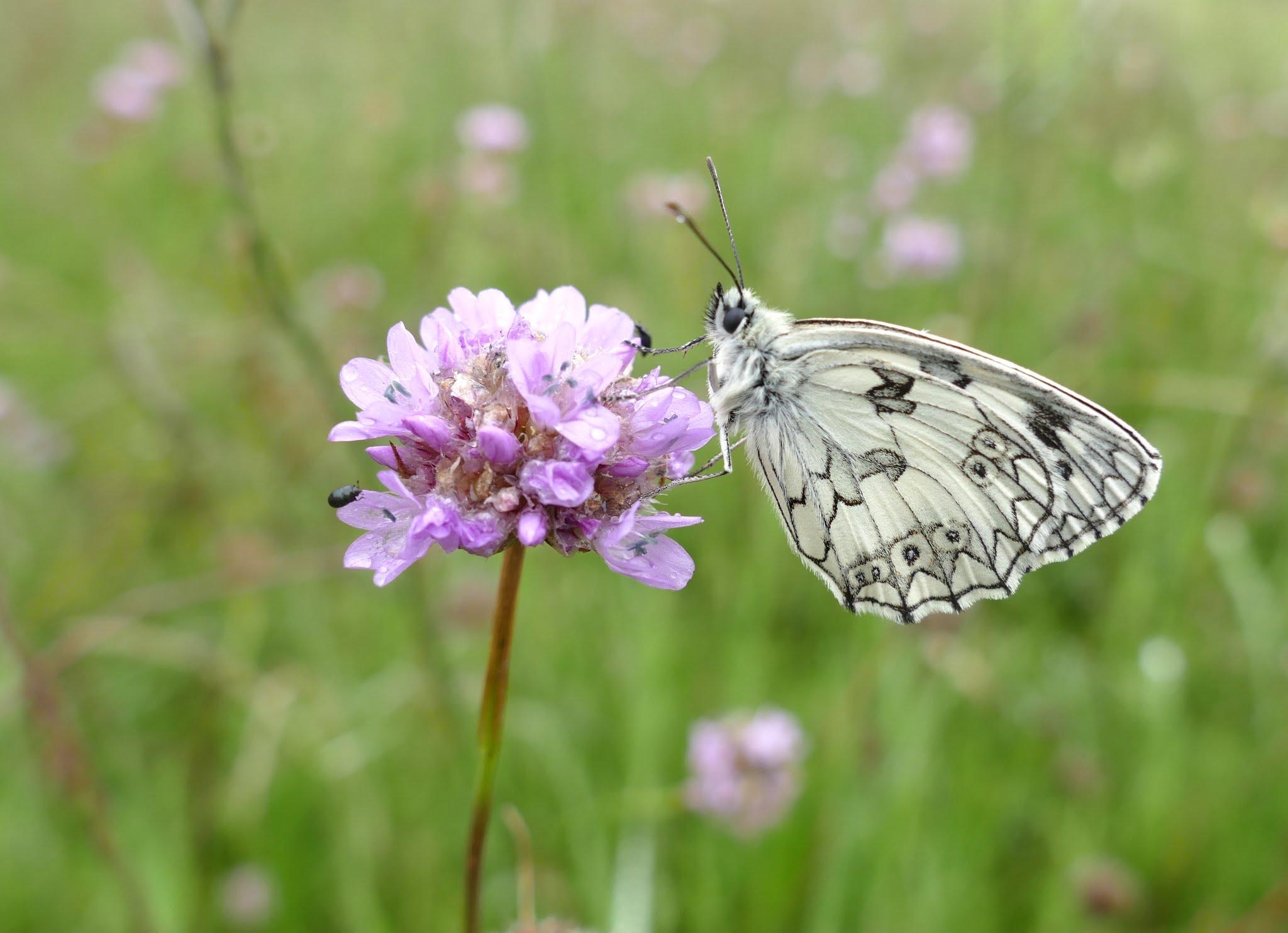 Schachbrettfalter, Schmetterling des Jahres 2019