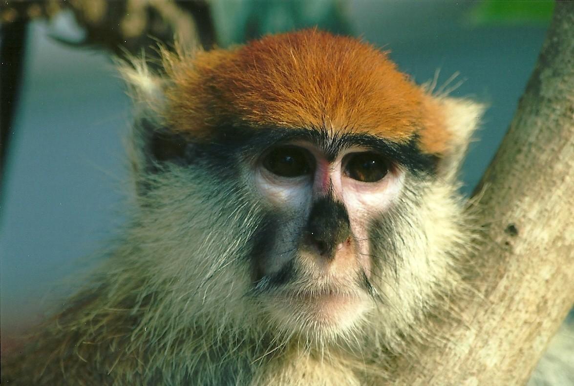 un singe à Ganvié