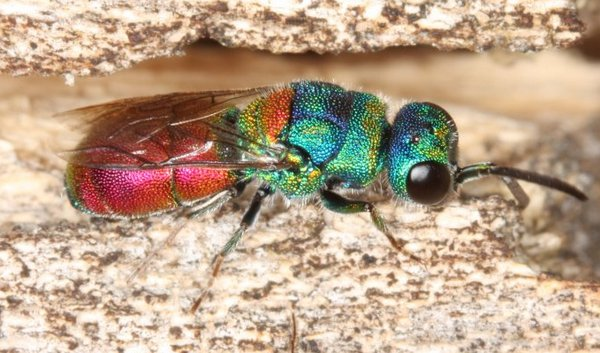 Photo © Gian Luca Agnoli / Chrysis at Italian Wikipedia. CC BY 3.0