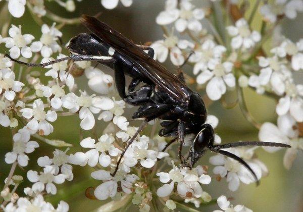 Photo © Eudemis / Galerie du Monde des insectes / www.galerie-insecte.org. CC BY-NC (2019)