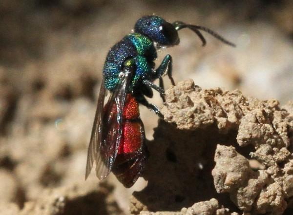 Photo © Jean-Sébastien Carteron / Galerie du Monde des insectes / www.galerie-insecte.org. CC BY-NC (2019)