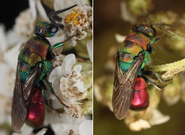 Photo © Arnaud Ville / Galerie du Monde des insectes / www.galerie-insecte.org. CC BY-NC (2019)