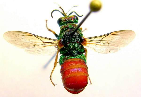 Photo © Patrick Burguet / Galerie du Monde des insectes / www.galerie-insecte.org. CC BY-NC (2019)