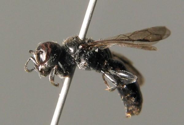 Самка. Wald. ZSM Entomology - Hymenoptera Image Archive