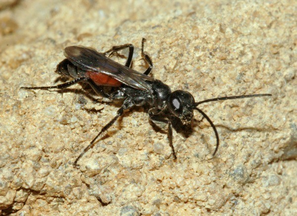 Photo Jeremy Early ©Bees Wasps & Ants Recording Society