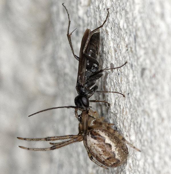 Photo © Michel Renou / Galerie du Monde des insectes / www.galerie-insecte.org. CC BY-NC (2019)